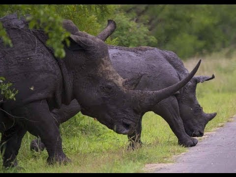 Kruger border in Mozambique an easy target for rhino poachers