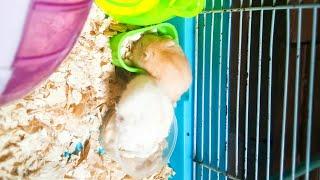 Mè Hamster TV | hai bé Mè và Chanh | Hamster Baby