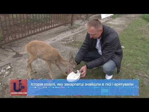 Історія козулі, яку закарпатці знайшли в лісі і врятували
