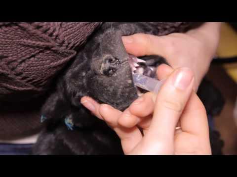 Как вывести коту глистов в домашних условиях