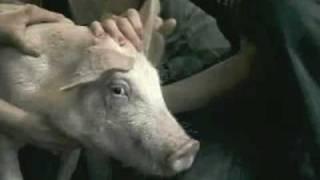 Thumb Comercial de AXE Shampoo con el cerdo