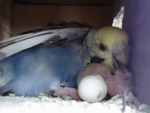 ♥♥♥feeding Baby Love Birds♥♥♥ video