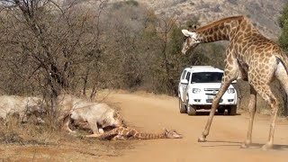 Giraffe Tries Saving her Calf From Hunting Lions