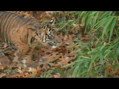 Cute Sumatran tiger cubs make debut at National Zoo in Washington, DC