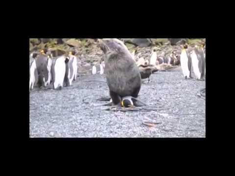 Filman a lobos marinos teniendo sexo con pingüinos en la Antártida