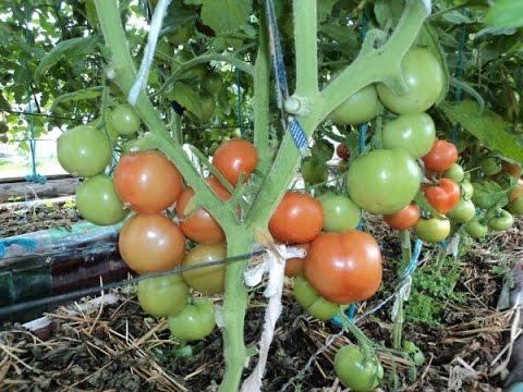 Хлебное удобрение для томатов своими руками
