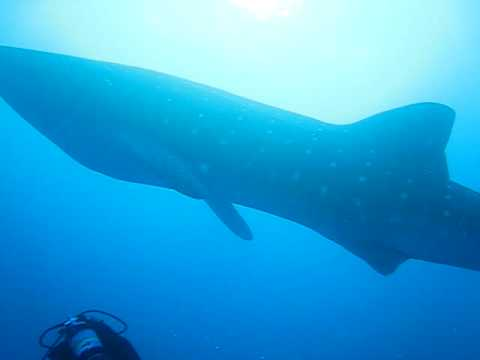 Jupiter Whale Shark Emerald Charters 561 248 8332 Video