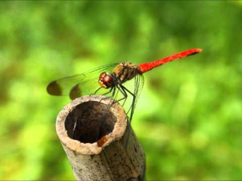 童謡  ♪赤とんぼ A Japanese Children's Song red Dragonfly Or akatombo video