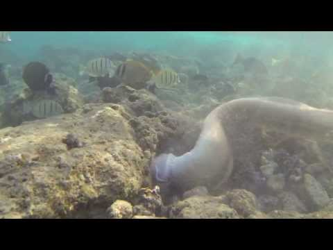 Snorkeling Hanauma Bay  Huge Eel Attacks Octopus