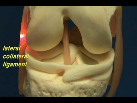 Ligament Model Model Cruciate Ligaments