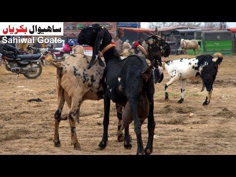 Sahiwal Goats - Khobsorat Desi Sahiwal Bakriyan Shahpur Kanjra Mandi Lahore 2019 thumbnail