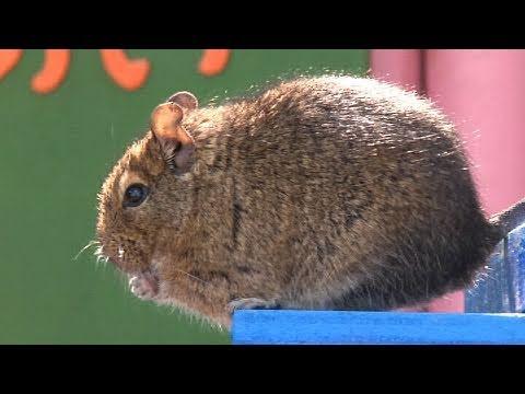 天才ネズミ デグー - 埼玉県こども動物自然公園 -