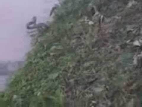 Deshi Snake Rape Mp4 video