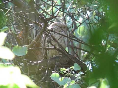 Striated Scops Owl - Otus brucei