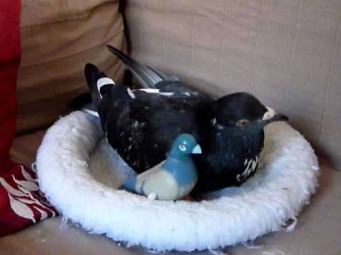 Pet pigeon (Elmo) in nest with toys