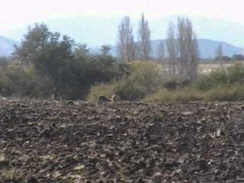 caza de liebres con galgos parral-chile2