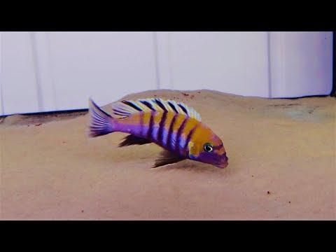 African cichlids breeds