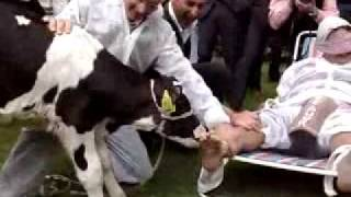 cow licks feet ayak yalayan inek