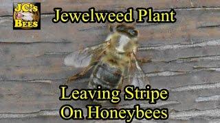 Jewel Weed Plant Leaving Stripe On Honeybees