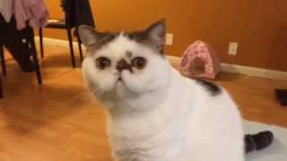 TRENDING FUN: Funny cat video - Exotic shorthair cat reaction to tape sound with gag reflex
