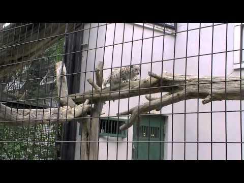 木登り&ジャンプ!ユキヒョウの赤ちゃん~Snow Leopard's Baby climbs up tree, Jumps