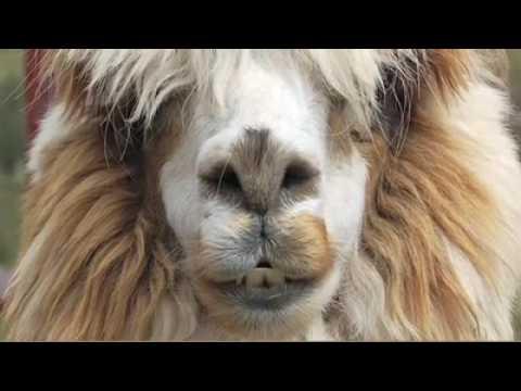 What is Alpaca?
