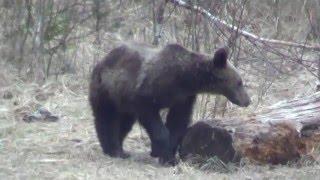 Bears in Carpathians, Bären in den Karpaten, Ours dans les Carpates
