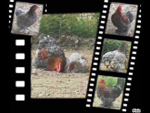 Touts savoirs sur comment lever des poules youtube - Comment elever des poules ...
