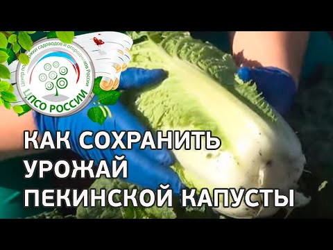 Выращиваем пекинскую капусту. Как проводить сплошную уборку пекинской капусты.