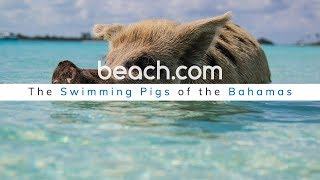 Everything You Need to Know About the Swimming Pigs of the Bahamas!