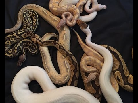 2017 Ball Python Collection UPDATE!  Featuring 24 year-old KHA!