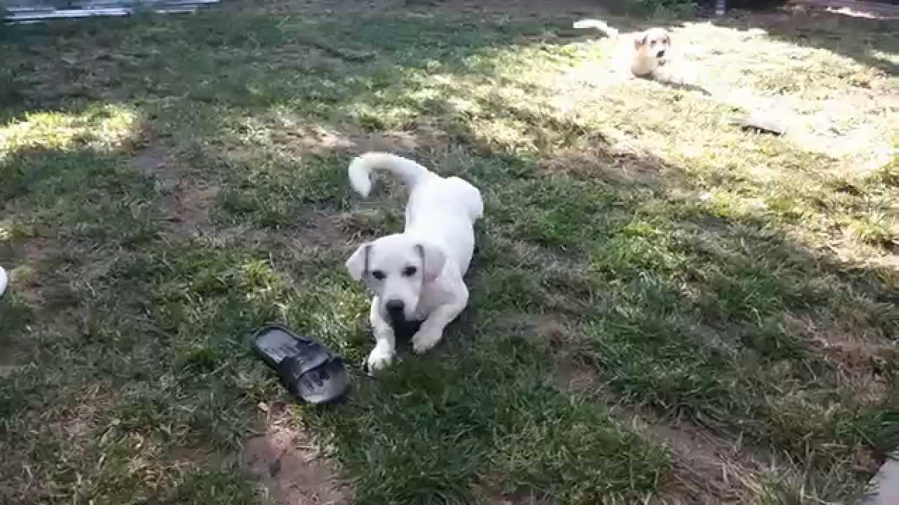 Army Dog Dog Doing Army Crawl