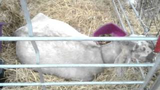 Download Excellent Breeds of Goats - Royal Highland Show - Scotland UK .mp4 3Gp Mp4