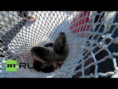 USA: Hungry sea lion wanders into San Diego restaurant