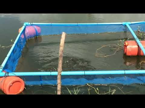 ทดลองเลี้ยงปลาดุกในกระชังบ่อดิน@วิถีพอเพียง