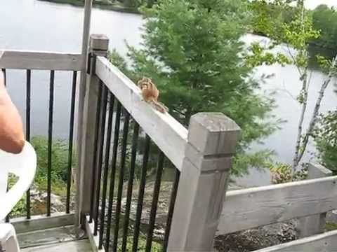 Clever chipmunk follows hazelnut trail