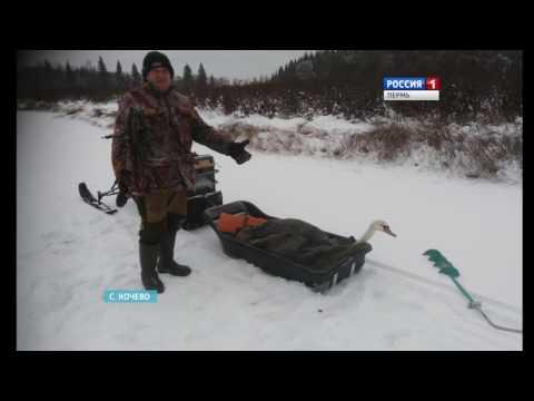Рыбаки спасли от мороза Лебедя Семёна