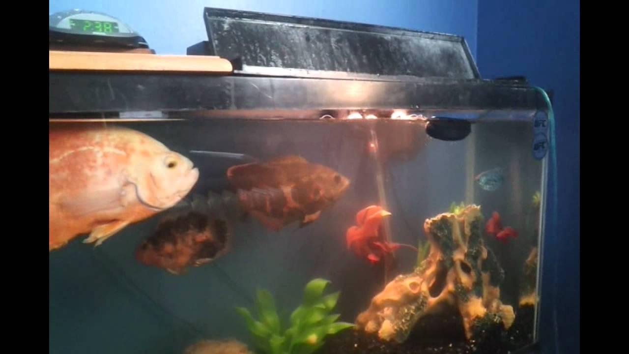 My 55 gal tropical fish tank youtube for Cheap 55 gallon fish tank