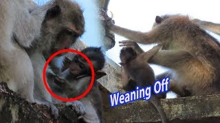 Adorable Young Mummy, Monkey Ellena Trying To Wean Off, Baby Really Need Milk
