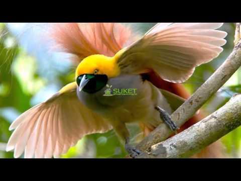 Suara Burung Surga Cenderawasih goldi Paradisaea decora MP3