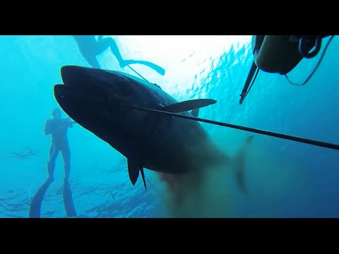 Chasse sous marine - 3 Gros Thon a dent de chien - TDC