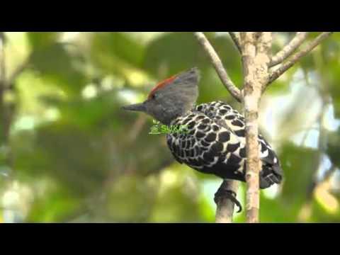 Suara Burung Caladi Tikotok Variasi