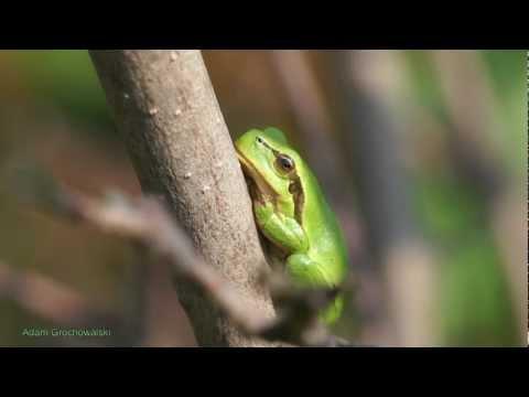 Hyla arborea - Rzekotka drzewna - Laubfrosch - Tree frog