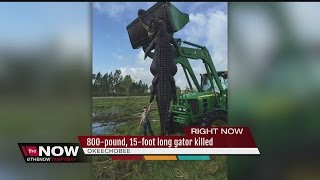 800-pound, 15-foot alligator caught in South Florida