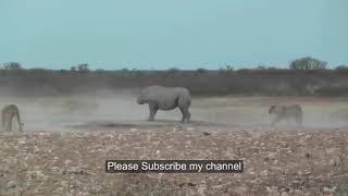 Lion vs Rhino   Buffalo vs Rhino   Real Fight Wild Animal Attacks