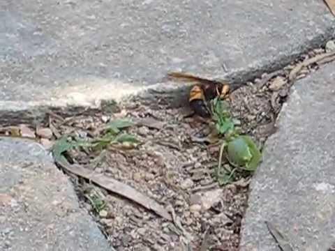 Hooded mantis vs brazilian wandering spider