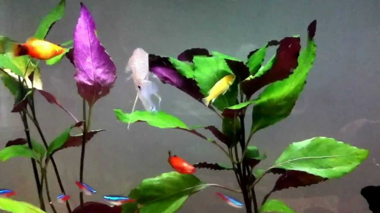 Tetras Guppies Together Eye Tetras Neons Guppies