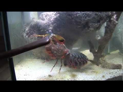 Mantis shrimp breaking glass gif