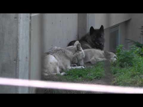 2011年7月28日 旭山動物園 シンリンオオカミ1