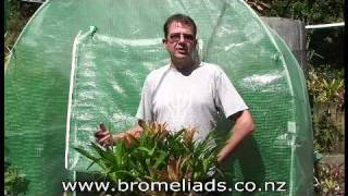 Bromeliads Online - How to harvest pups